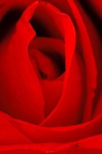 rose-200x300